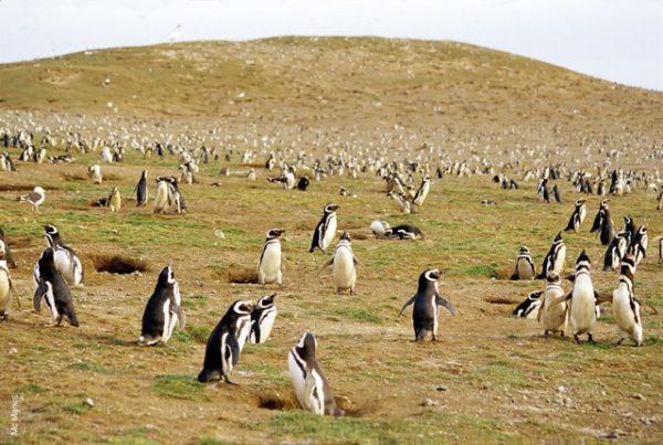 Pingüino magallánico de la Isla Magdalena