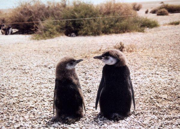 Pingüinos en la Península Valdés